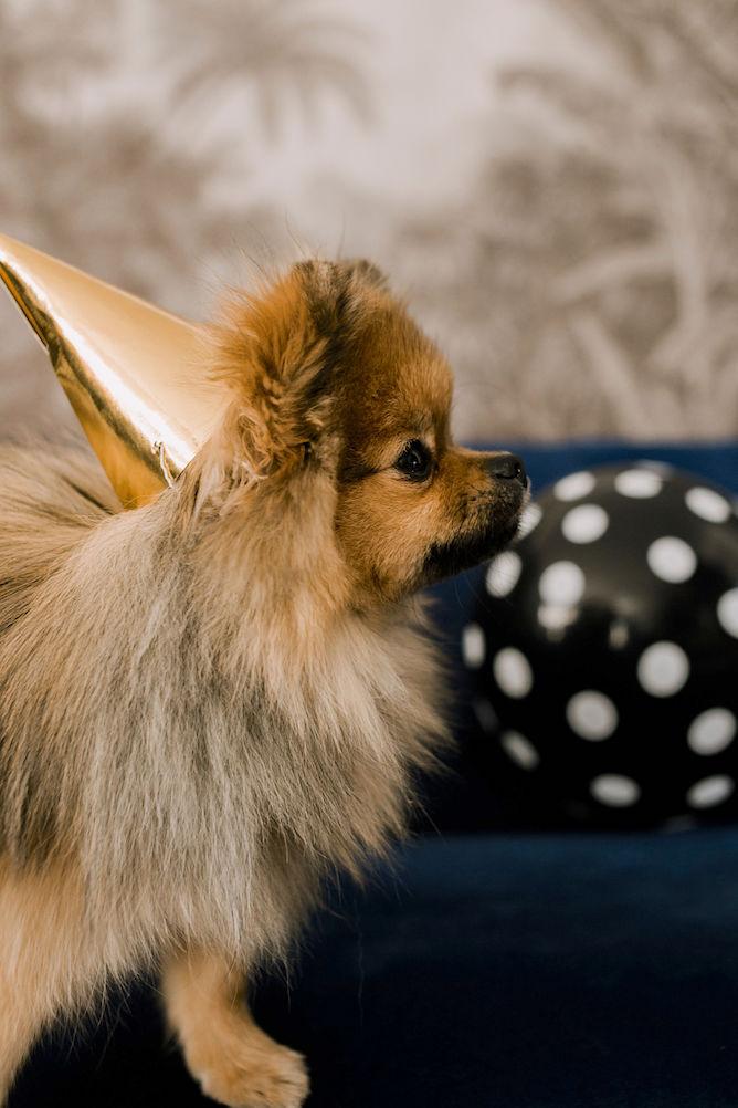 pomeriaan puppy verjaardag