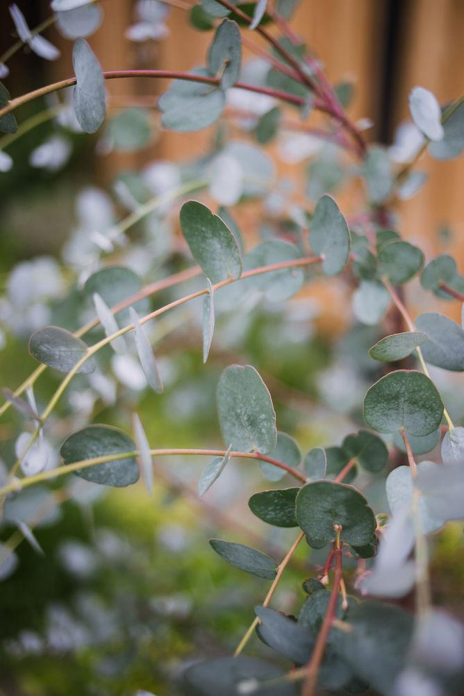 eucalyptus in de tuin