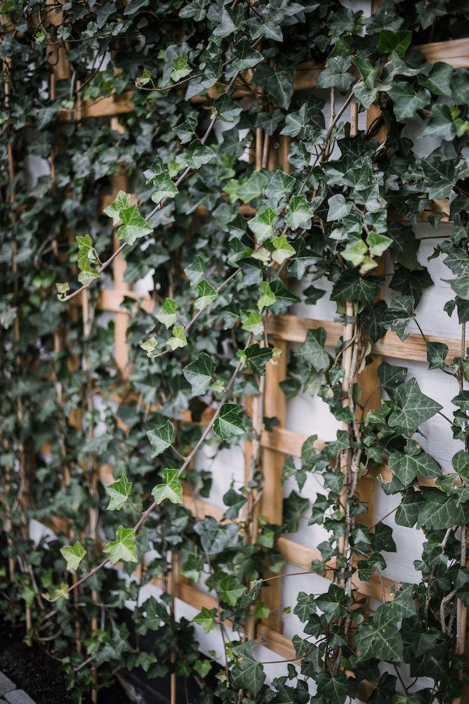 hedera in de tuin op een planten klimrek
