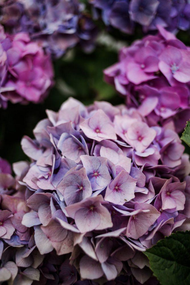 hortensias in de tuin verzorgen