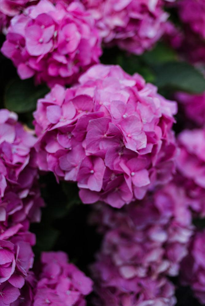 roze hortensia's in de tuin planten